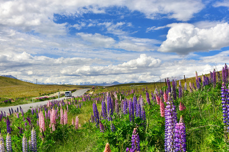 Field of bright colourful lupine flowers near the road leading to Southern Alps mountains in New Zealand