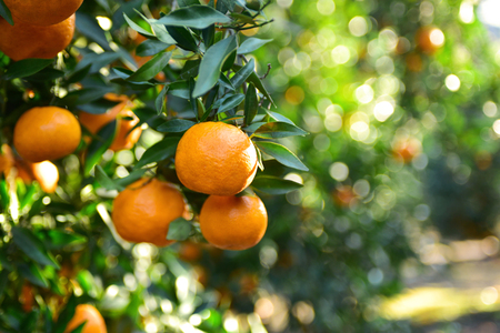 Ripe juicy sweet orange mandarins on a tree in the mandarin orchard. Selective focus.