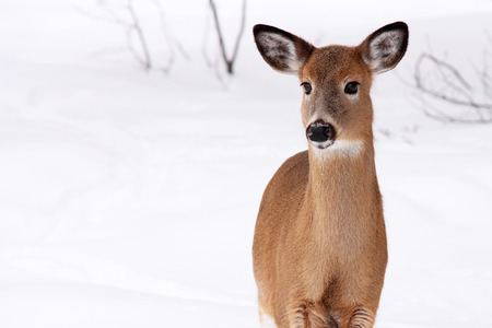 white tail deer: White tail deer in the snow