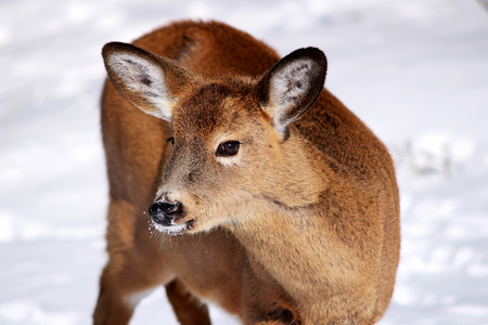Young white-tail deer in the snow photo