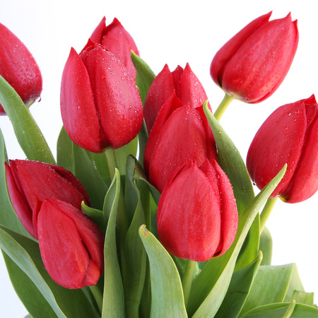 Red tulips with dew drops on white background photo