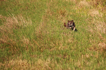 calico: Calico cat in a field in the spring