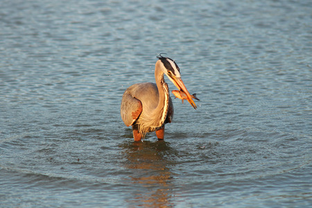 Great blue heron fishing at dawn in a pond photo