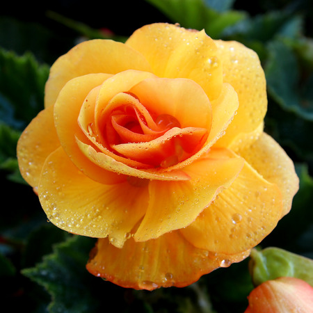 Closeup of a single yellow begonia flower, Illumination variety, with dew drops photo
