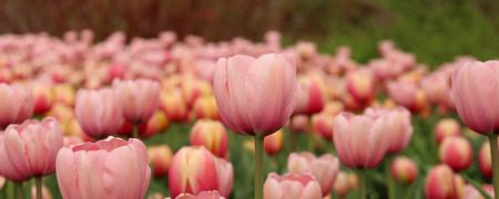 Spring tulips in full bloom at the Tulip Festival in Ottawa, Canada  Panoramic view  photo