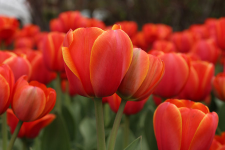 Spring tulips in full bloom at the Tulip Festival in Ottawa, Canada photo