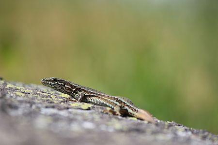 lizard in the natura photo