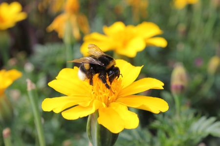 bumblebee and flowers yellow photo