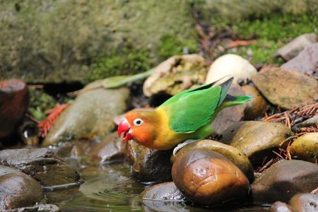 bird inseparable red orange yellow and green photo