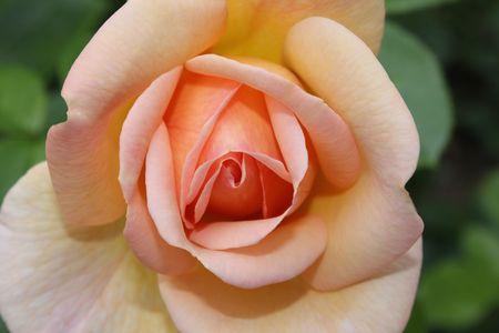 flower pink and orange and whitelow photo