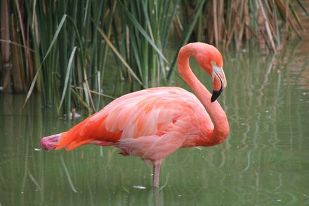 pink flamingo in the water and grass green
