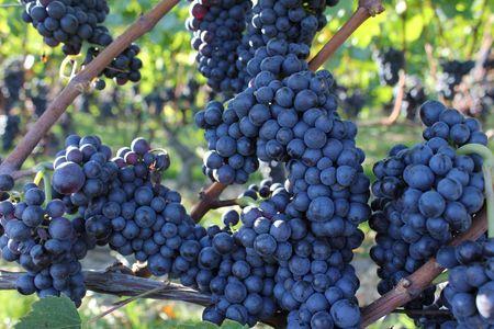 purpule: grapes black and purpule
