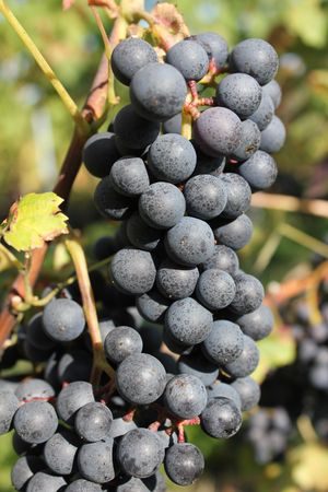 purpule: grapes purpule and black