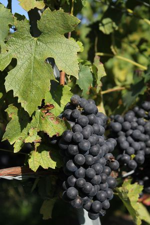 purpule: grapes purpule and black and plants green