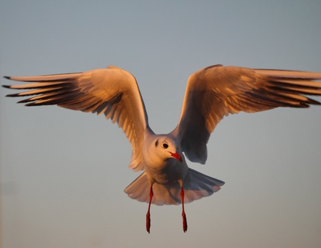feathe: gull grey and sky Stock Photo