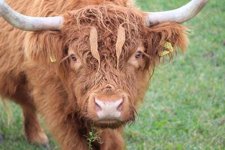 red heifer: vaca marr�n Highland Foto de archivo