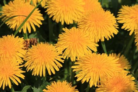 field dandelion yellow photo