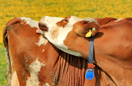 cow brown and flowers photo