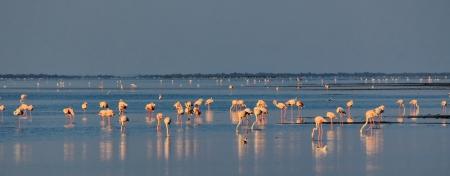 Camargue flamingo Stock Photo