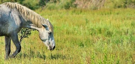 horse Camargue and green grass photo