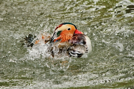 duck mandarin photo
