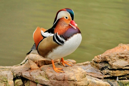 web footed: duck mandarin