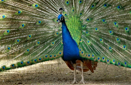 narcissism: Peacock and colors green and blue Stock Photo