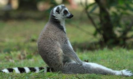 A lemur sat photo