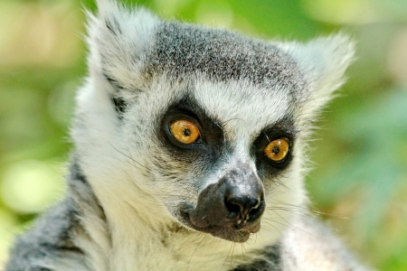 Portrait of a lemur photo