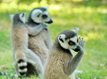 Several lemurs in situation photo