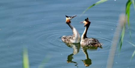 Great Crested Grebe and lake photo