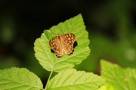 speckled wood: Speckled Wood  Pararge aegeria  Stock Photo