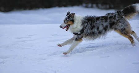 berger: dog Berger Australien which runs in the snow  in the middle of the forest Stock Photo