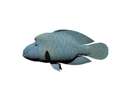 subaquatic: Napoleon fish blue isolated in white background Stock Photo
