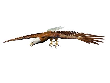 it is isolated: magnificent eagle landing on it isolated in white background