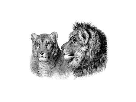 two lions on white background - 3d rendering