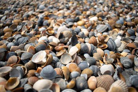 Seashells and clams on coastal sands