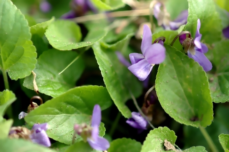 Violet, Viola Odorata, close-up, in the green Stock Photo
