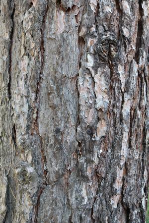 Bork, detail, pine tree