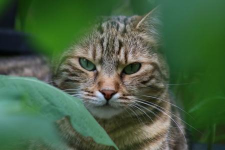 Cat in the Garden, hiding behind shrubs
