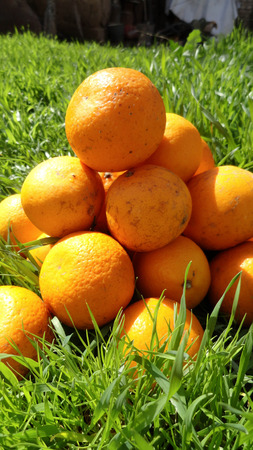 Mandarins in green grass. On a bright sunny day, photos of mandarins are made. Fruits, nature.