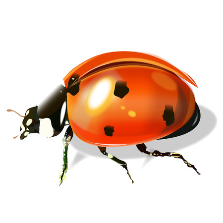 Vector illustration of a very realistic ladybug. On a white background. Illustration