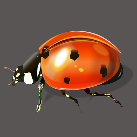 Vector illustration of a very realistic ladybug. On a gray background.