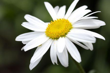 White daisy Stock Photo - 7460933
