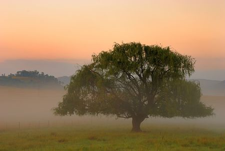 Misty morning tree