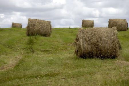 hay field: Campo di fieno