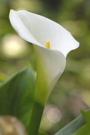 calla lily: Arum lily Stock Photo