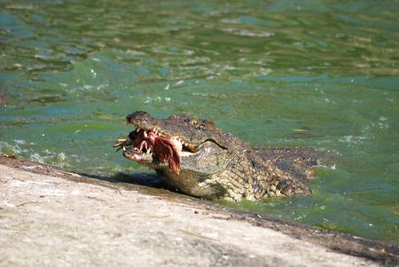 Crocodile eating a chicken