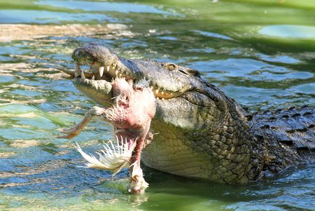 Crocodile eating Stock Photo