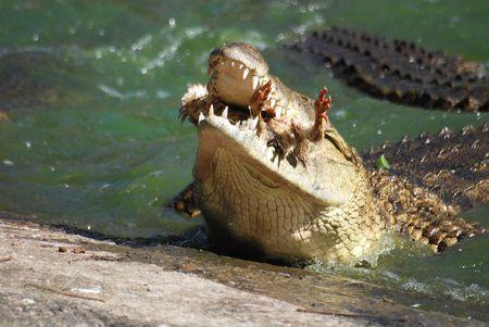 Crocodile eating Stock Photo